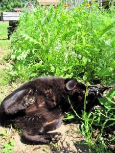 Garden-Newt