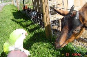 Mark smack-talking Chappelle the Oberhasli goat.