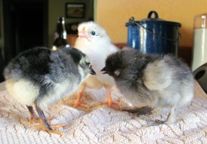 Three cute and fluffy chicklets.