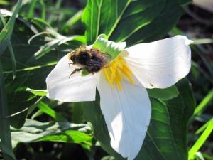 Trillium-Bee