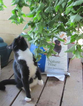 Bismarck inspects the catmint harvest.