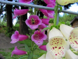 Foxgloves and bees at the edge of the garden.
