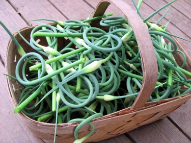 One of three baskets full of garlic scapes heading for the freezer.