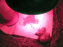 Smallest hatch yet, but they're healthy and cute.