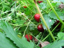 Our expanded and relocated strawberries are going gangbusters.