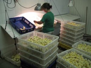 A chick sexor at Welp Hatchery works to separate the males and females using the feather sexing method.