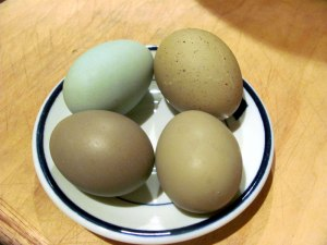 Clockwise from upper right - Jeb's egg, new pullet, new pullet, Ameraucana egg.