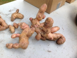 These spuds had too much water at just the wrong time.