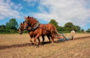 Working Suffolk Punches