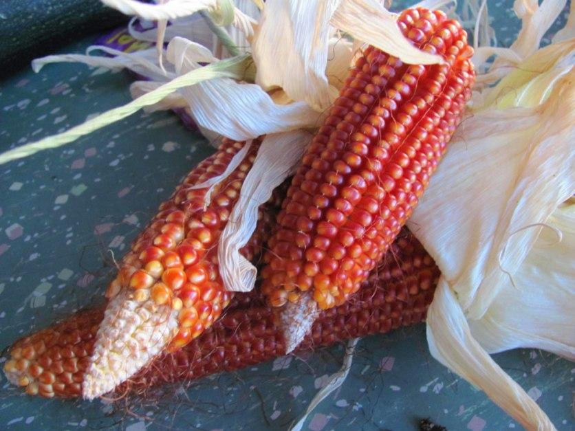 Floriani corn