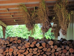 Garlic drying in the woodshed.