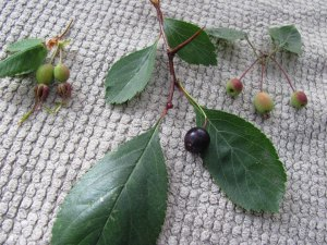 Rugosa rose, black hawthorn & Pacific crabapple fruits.