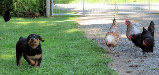 Hilde warding off hens.