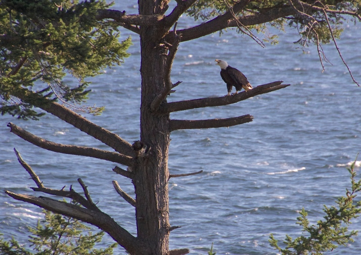 Bald Eagle singing with Doug Fir on Haro Strait is the Salish Sea
