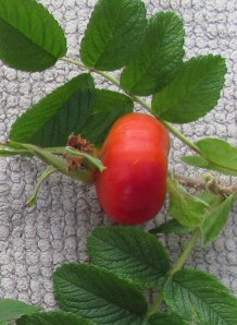 Rugosa rose hip.