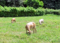 Lawn mowers in action.