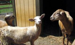 Happy sheep.