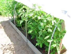 Tomatoes growing like crazy under cover.