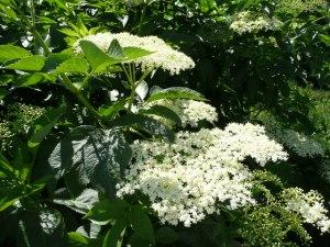Elder_flowers
