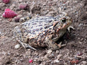 WesternToad1